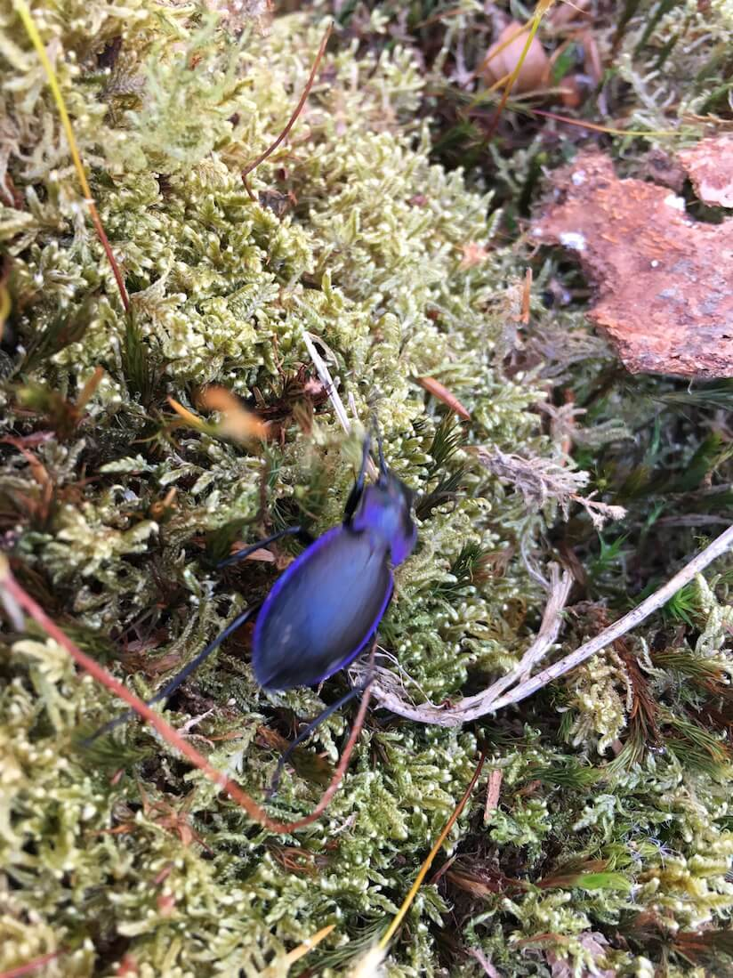 Blue Dor Beetle in the New Forest - Bug Hunting