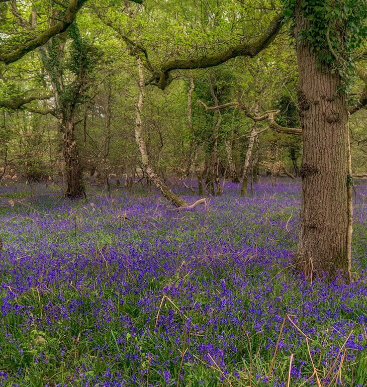 Bluebells at Roydon Woods - New Forest Escapes - Getting Lost